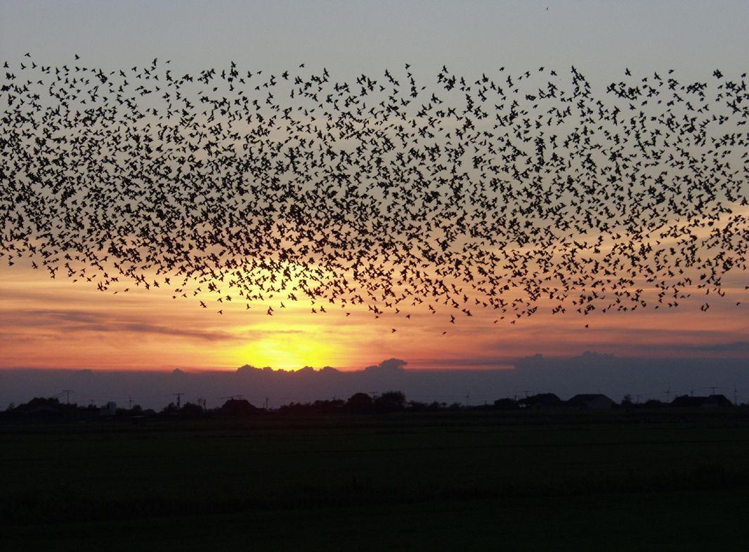 Una bandada de pájaros en vuelo en un ejemplo cotidiano de autoorganización.