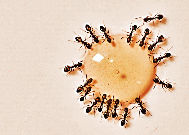 Patrones de autoorganización en un grupo de hormigas
