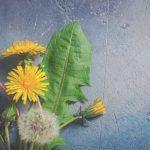 Diente de León:: Una hierba sagrada, desperdiciada